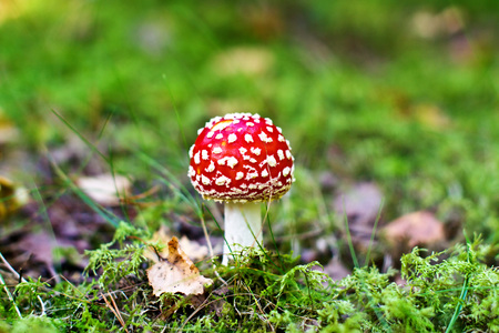 Fly agaric among fallen leaves photo