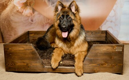 german shepherd puppy lay in special bed for dog