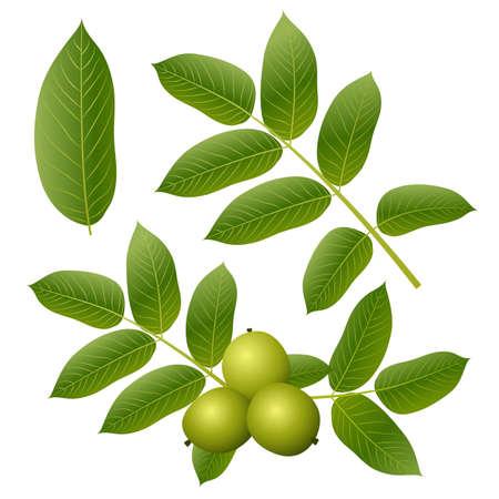 albero nocciolo: Foglie di noce verde e frutta