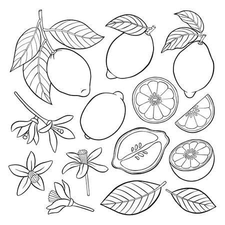 A set of contour elements of lemon. Vector illustration.