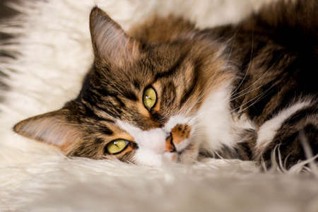 Brown, adult cat is lying on a white, fluffy blanket. Vertical photo. Side view Reklamní fotografie