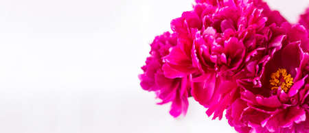 Banner. Red peony close-up. On light background. Soft image. Space for text. Horizontal photo. Summer. Side view.
