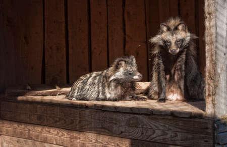ussuri: Lazy raccoon dogs in the sun Stock Photo