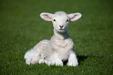 Lamb on a green grass
