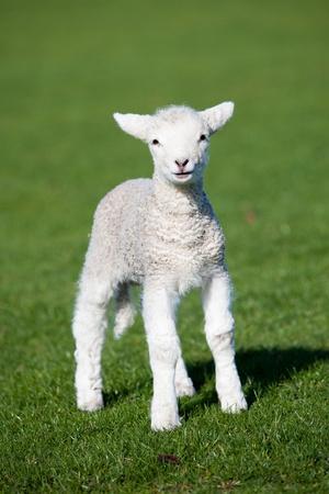 livestock: Lamb