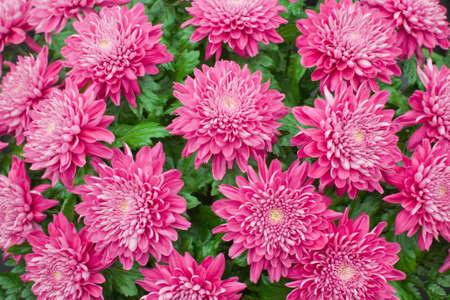 outumn: Chrysanthemum