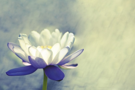 flowers horizontal: Water lily Stock Photo