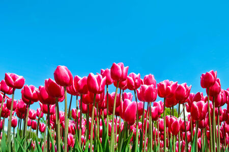 Tulips and blue sky