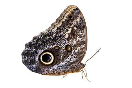 lepidopteran: Isolated owl butterfly on white background Stock Photo
