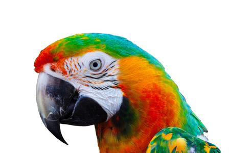 arlecchino: Arlecchino Ara testa pappagallo su sfondo bianco