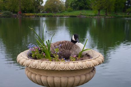 nesting: Nesting goose