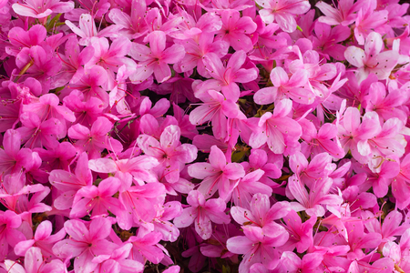 Rhododendron pink flowers background