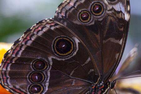 Owl eye butterfly Stock Photo