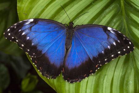 Owl eye butterfly on a leaf Stock Photo