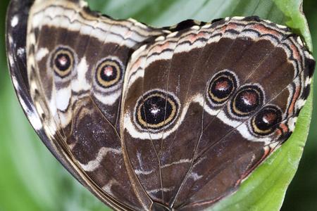 Owl eye butterfly wing background