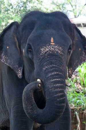 Close up picture of Indian elephant
