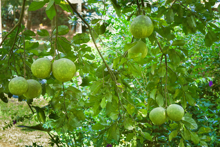 Ripening pomelo fruits hang on the trees in the citrus garden in India