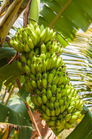 Bunch of ripe and ripening bananas on a tree, India