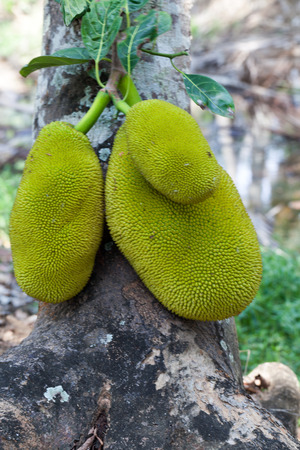 Jack fruits on a tree in a tropical fruit garden in India