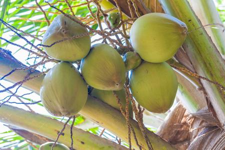 fresh coconuts on the tree, coconut cluster on coconut tree, India Standard-Bild