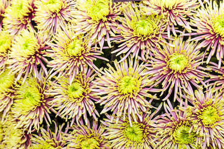 Yellow and pink chrysanthemum background