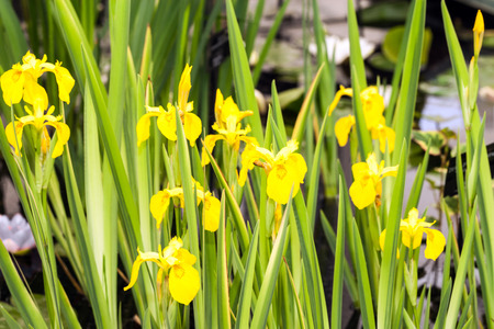 Yellow blooming irises in a pond