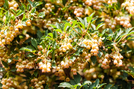 Blooming Japanese Pieris in the garden Standard-Bild