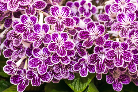 Blooming purple streptocarpus in a pot Stockfoto