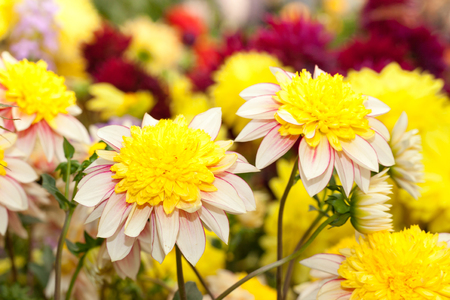 Yellow dhalia flowers in the garden Standard-Bild