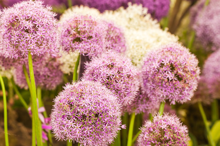 Blooming purple allium in a garden