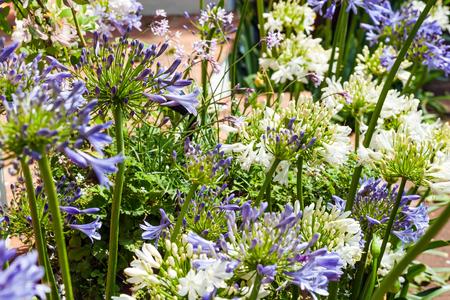 Blooming allium in a beautiful garden Standard-Bild