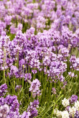 Background of blooming lavander Standard-Bild - 119118734
