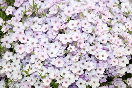 Phlox douglasii purple flowers background