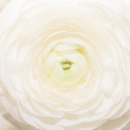 White flower of ranunculus