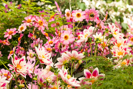 Pink dhalia flowers in the garden Standard-Bild