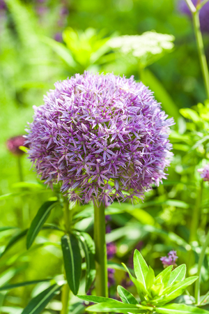 Blooming allium in a beautiful garden Stock Photo
