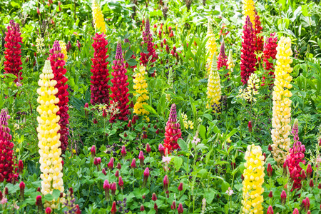 Blooming  purple, yellow and red lupine in the garden Standard-Bild - 119118771