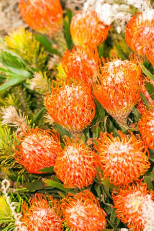 Beautiful orange protea flowers background
