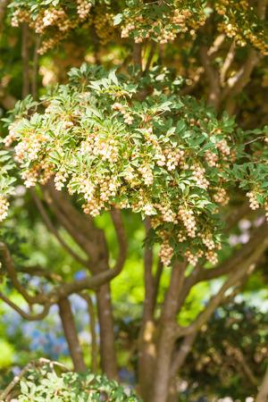 Blooming Japanese Pieris in the garden Standard-Bild - 119118774