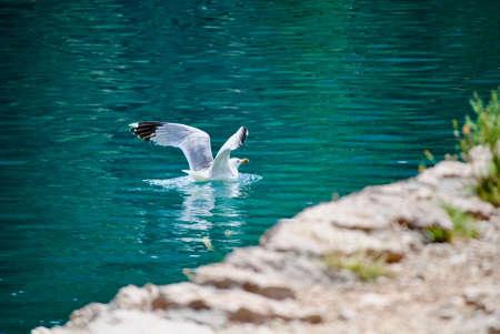 seagull flying down in the sea 版權商用圖片