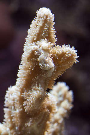 polyp: Image of coral polyp in a reef aquarium