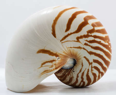 shell: Image of isolated nautilus on white background Stock Photo