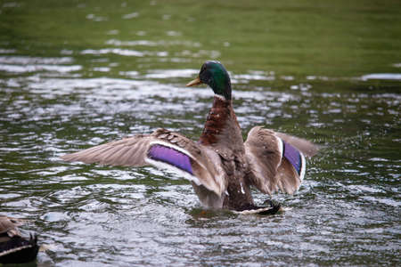 Brown duck with purple highlights on its wings spreading its wings as it starts to take off from the surface of the lake