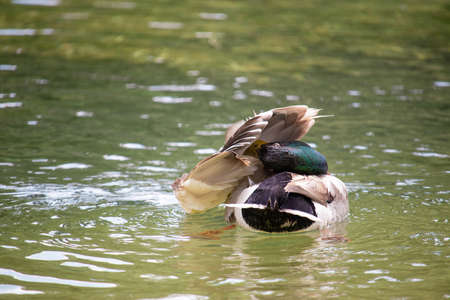 Cute brown duck with a green head cleaning itself, beak stuck in its wings as. Preening her feathers to position them correctly Stock fotó