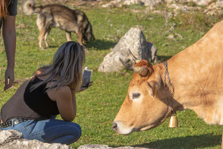 Blonde girl crouching near a wild orange cow with horns and a golden bell, curious and taking a photo of the cow. Brown wild dog in the background inspecting the grass