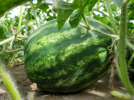 Ripe watermelon in the garden, watermelon among a green plants.