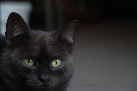 Frightened yellow eyes black cat look, cropped image. 版權商用圖片