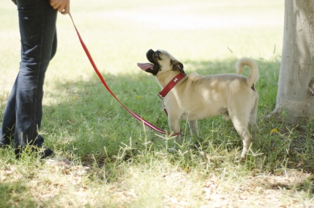 animal lover: Cute pug dog looking at its owner while walking at a park