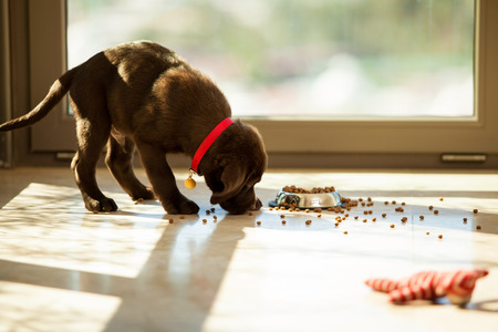 mess: Beautiful brown Labrador eating food from its plate in the living room Stock Photo