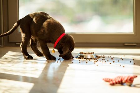 habitacion desordenada: Hermoso Labrador marr�n comer la comida de su plato en la sala de estar Foto de archivo